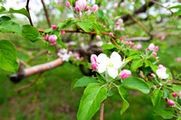 Hackett's Orchard Apple Blossom